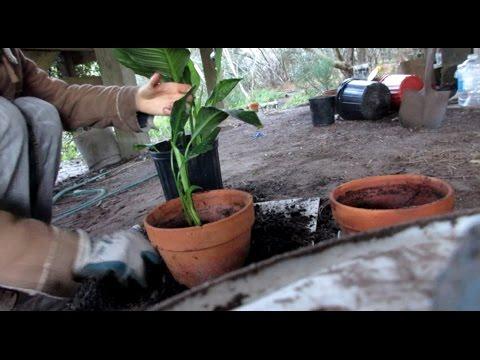 Multiplying Fresh Air Plants (PeaceLily)