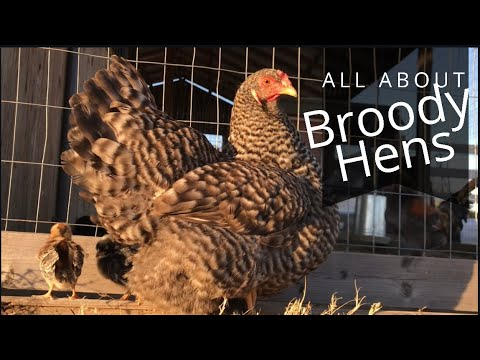 Everything You Need To Know About Broody Hens