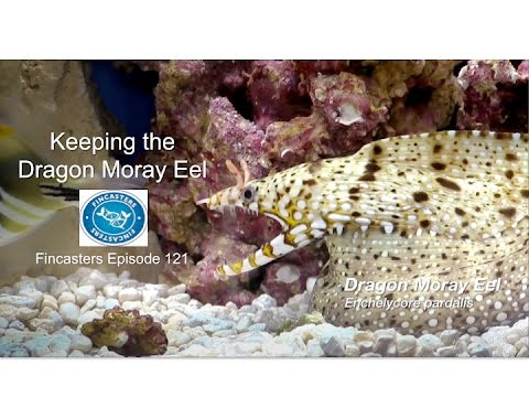 Dragon Moray Eel Amazing video and care Enchelycore pardalis Fincasters Episode 121