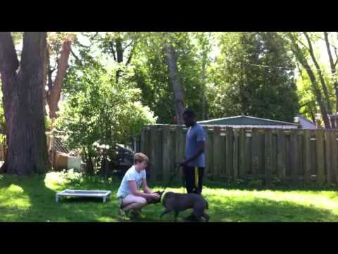 How - To Introduce Fearful/Aggressive Dog To People | Majors Academy Dog Training And Rehabilitation