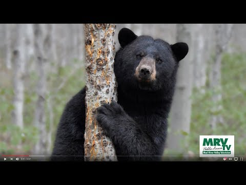 Vermont's Black Bears
