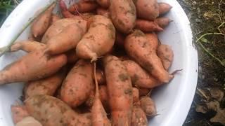 Sweet potatoe Love ~ Fall Garden