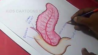 How to Draw Human Pancreas Anatomy Drawing for kids