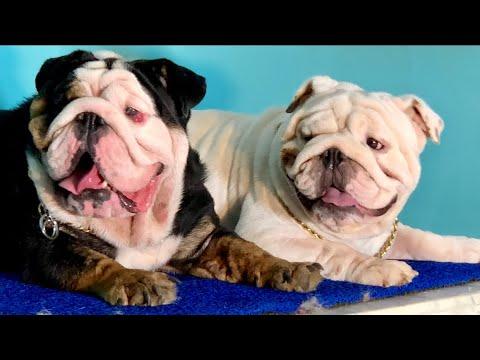 The Best British Bulldog In India || British Bulldog | Black British Bulldog | White British Bulldog