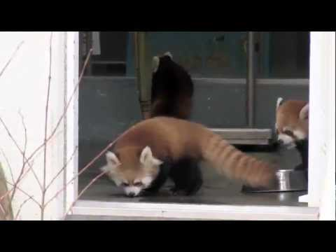 Red Panda Scared Surprised Youtube