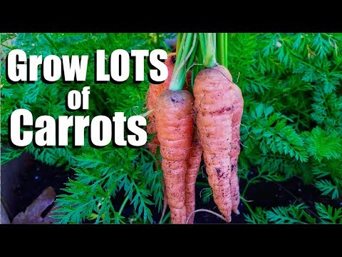 grow-lots-of-carrots---3-tips
