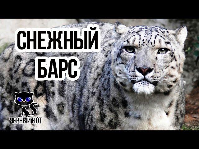Снежный барс (ирбис) / Интересные факты о кошках