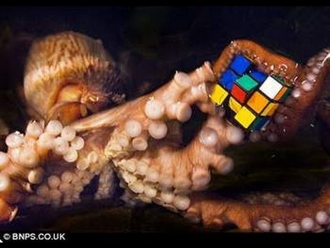 Wiki kraken together with 95391104450 furthermore 43163 additionally 1337932 together with Do octopuses exibit handedness. on cephalopod intelligence