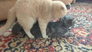 Вязка Шотландских котов