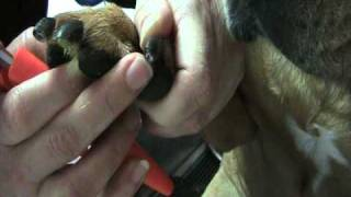 How To  Find The Quick, And Clip Nails; How To Dremel Black Nails On A Large Dog 2010.mod