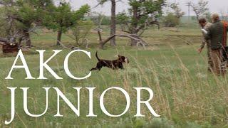 Apollo   AKC Junior Hunt Test   Second Pass