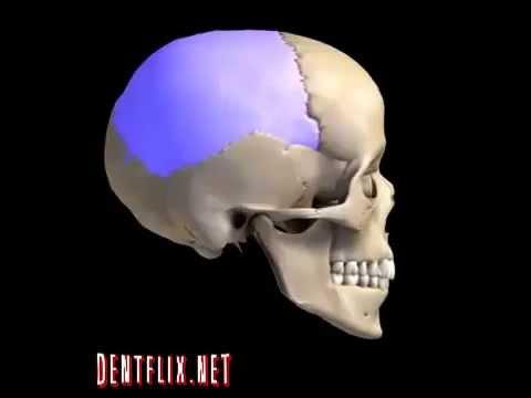 Anatomia Huesos de la cara - YouTube
