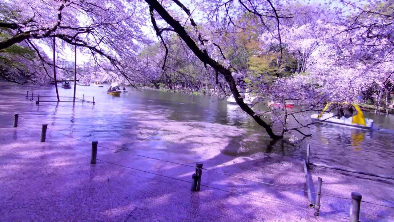 Cherry Blossom Wallpaper Hd 桜タイムラプス☆東京桜景色☆~starstreamer 2 Cherry Blossom Landscape