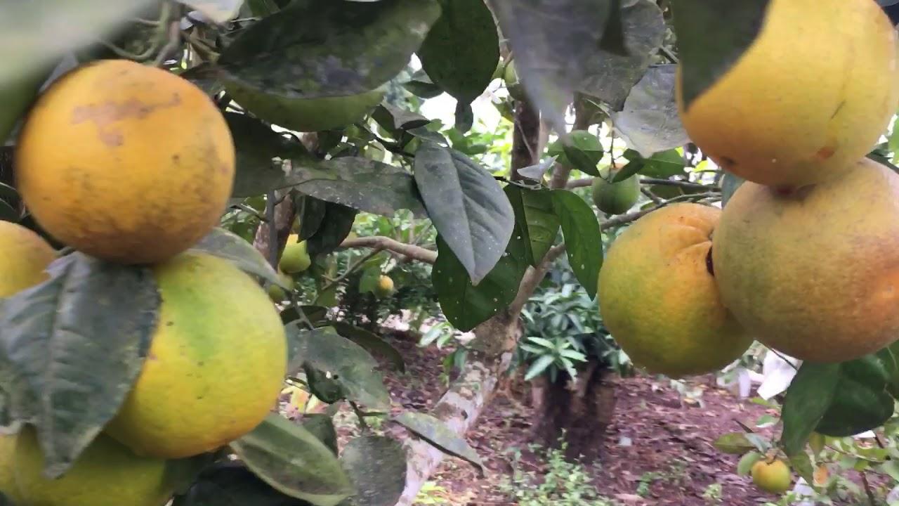 Nhà vườn cây ăn quả cực đẹp của đưc thiện
