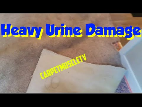 Urine in carpet. Pad replacement.  Advanced urine removal techniques.