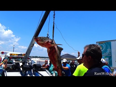 Big 390 Pound Tiger Shark At Mississippi Deep Sea Fishing Rodeo 2016