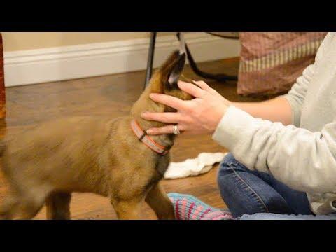 Belgian Malinois—Mishka—8 weeks old 'Desensitizing'