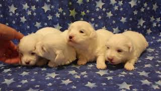 Coton de Tulear Puppies For Sale 2/5/20