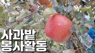 사과 따기 봉사활동 ! 농촌 일손돕기 과수원 체험 브이…