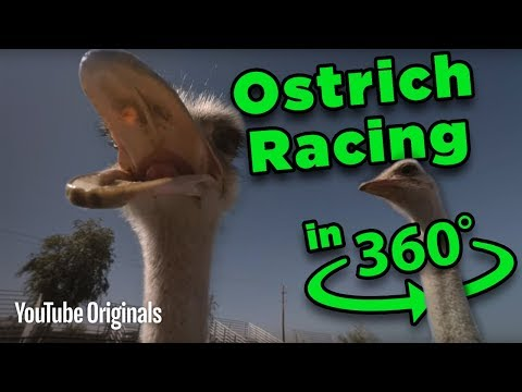 Download Youtube: Beware the BEAK! Ostrich Racing 360 - Game Lab 360 Video