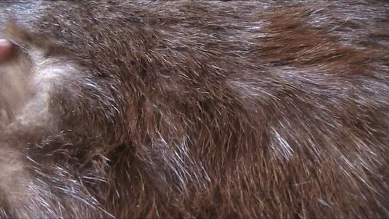 Шкурка козы выделанная - YouTube