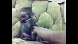 Ce qui se passe quand tu chatouilles un petit singe !