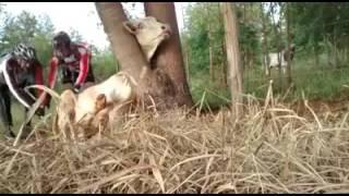 Trilheiros resgantam Boi preso em arvore e cerca (www.biocicleta.com.br)