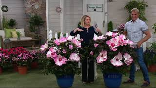 Cottage Farms 2-Pc Starry Starry Night Giant Hibiscus Duo on QVC
