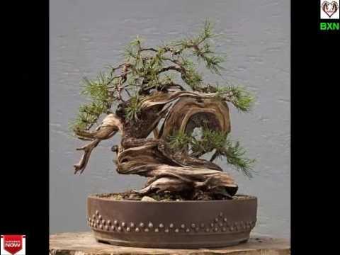 Bonsai Trees Online Indoor Tree For Beginners