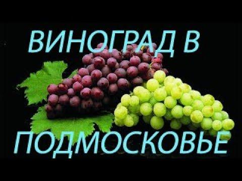 Виноград в Подмосковье? Это просто!