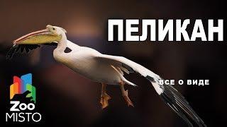 Пеликан - Все о роде птицы | Род птицы пеликан