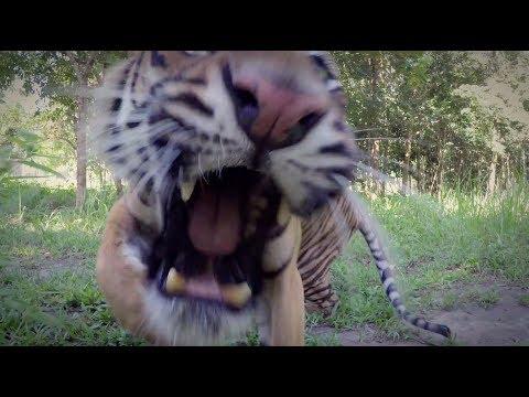 Let The Tiger Go - Courtesy of GoPro | The Lion Whisperer