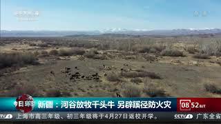 [今日环球]新疆:河谷放牧千头牛 另辟蹊径防火灾  CCTV中文国际