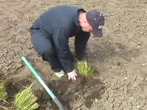 How to Divide Ornamental Grasses YouTube