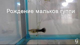 Рождение мальков гуппи, самка гуппи рожает в нерестовике в общем аквариуме