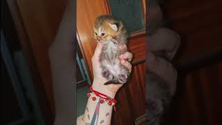 SCOTTISH FOLD CAT BREED  Characteristics, Care and Health