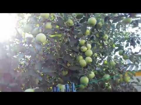 Начало  созревания    яблони  Снежный кальвиль,  одной из лучших  яблонь  для сока
