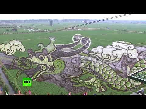 Creative Farm': Rice fields become live painting in China