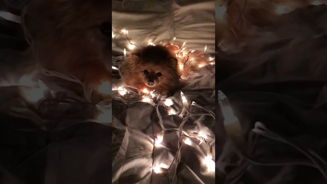 a dog in christmas lights