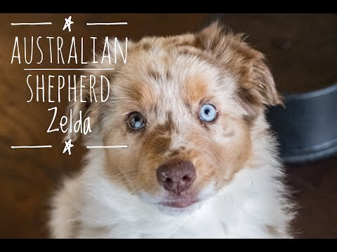 Progression of 6 Month Old Red Merle Australian Shepherd Zelda