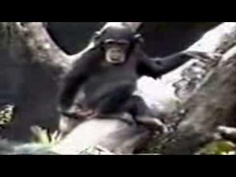 monkey faints