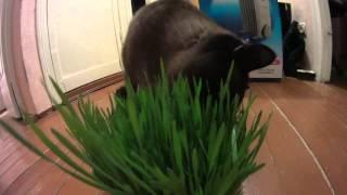 Кот ест траву для котов.