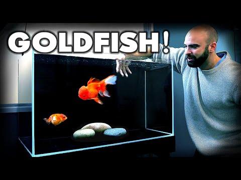 MAKING A *FANCY* GOLDFISH AQUARIUM! Ranchu & Oranda | MD Fish Tanks