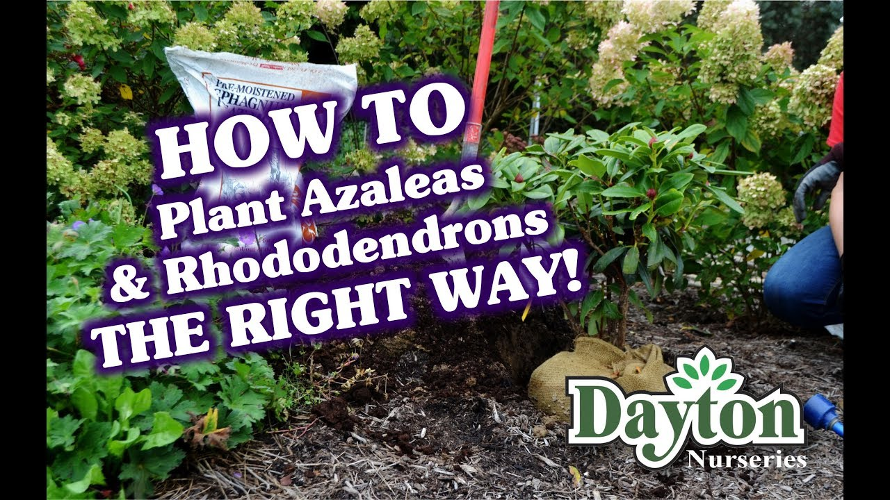 Download Planting Rhododendrons & Azaleas The RIGHT WAY!