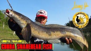 ตกปลาช่อนงูเห่า 3 ตัวติดๆ Cobra snakehead fish::Lungyai Thailand