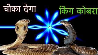 आपको चौका देगा किंग कोबरा  !!kobra snake,king cobra,