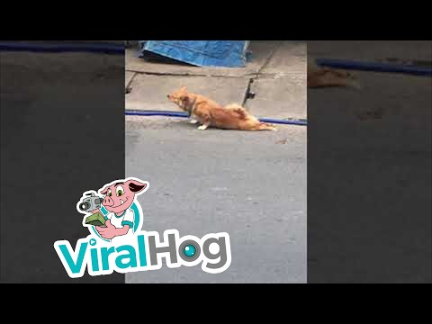 Dog Fakes Injury for Food    ViralHog