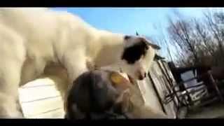 Коза домашняя. Игривые  козлята
