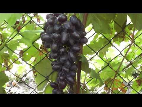 Упругий - новая гибридная форма винограда Голуба Анатолия Алексеевича