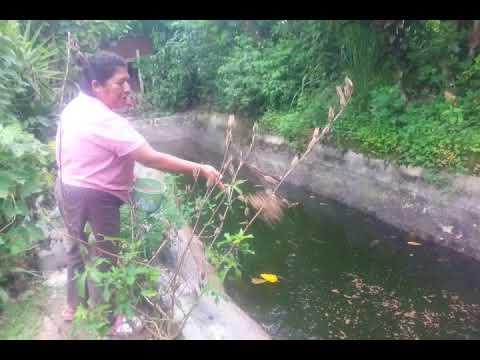 Que y como se hace c mo se cr an las tilapias y c m for Construccion de estanques circulares cria y engorda de mojarra tilapia
